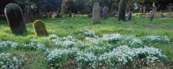 panorama-of-snowdrops