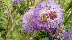 bee-in-dawns-garden