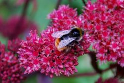 bee-on-Dawns-sedum