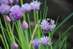 bee-on-chive-flower