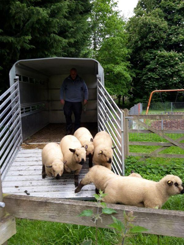 May-2017-sheep2