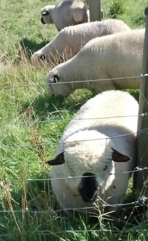 close-up-of-sheep-aug-2017