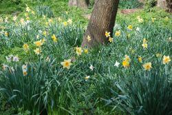 Priory-daffodils