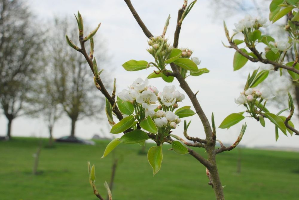 The-Common-Orchard-appleblossom1