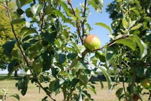 Common-orchard-apple