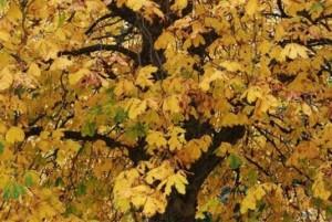 common-autumn-4