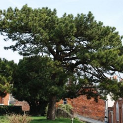 St-Marys-Cedar-Tree